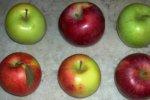 Новые сорта яблок приходят на российский рынок
